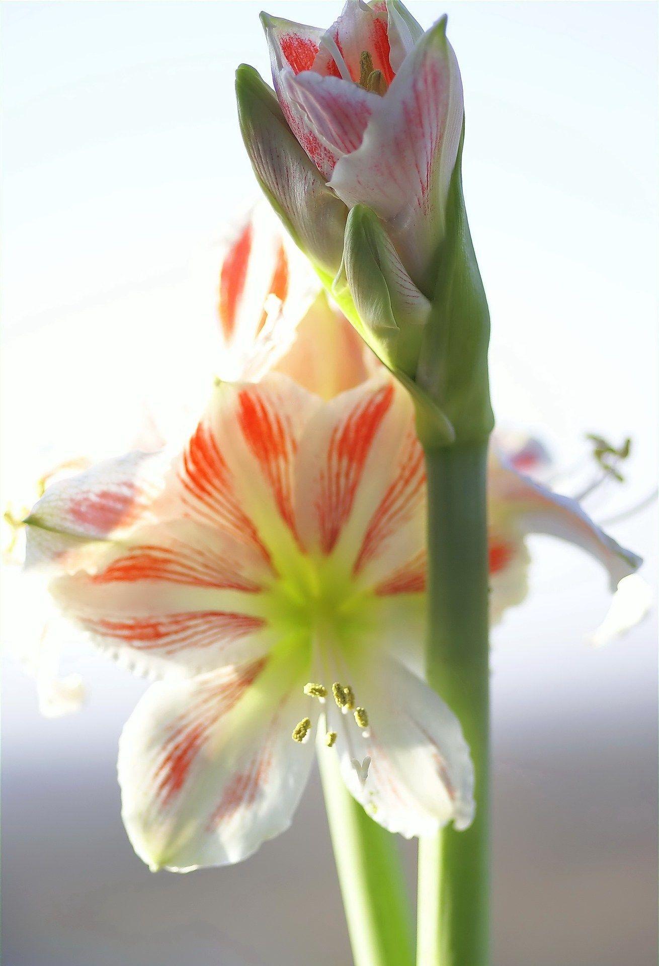 trendblume amaryllis so wird sie auch im n chsten winter. Black Bedroom Furniture Sets. Home Design Ideas