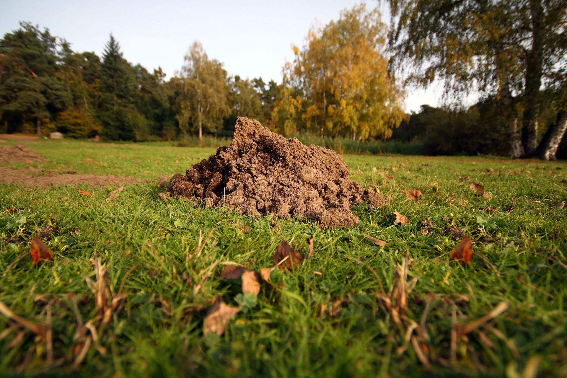 20 Wege einen Maulwurf aus dem Garten zu vertreiben